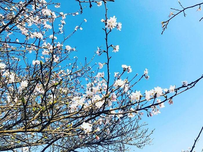 Hoa đào nở vào mùa xuân ở Sapa