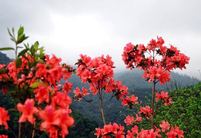 Mùa hè là mùa hoa đỗ quyên nở rực rỡ trên khắp Sapa