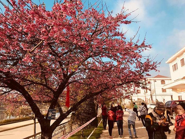 Những con phố ngập tràn sắc đỏ của hoa đào ở Sapa