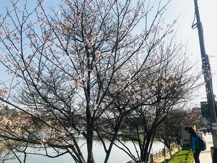 Hoa đào, mận nở rộ ở bờ hồ Sapa