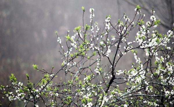 """Rộ sắc trắng, mùa hoa mận Mộc Châu đang vào thời điểm """"vàng"""" 2"""