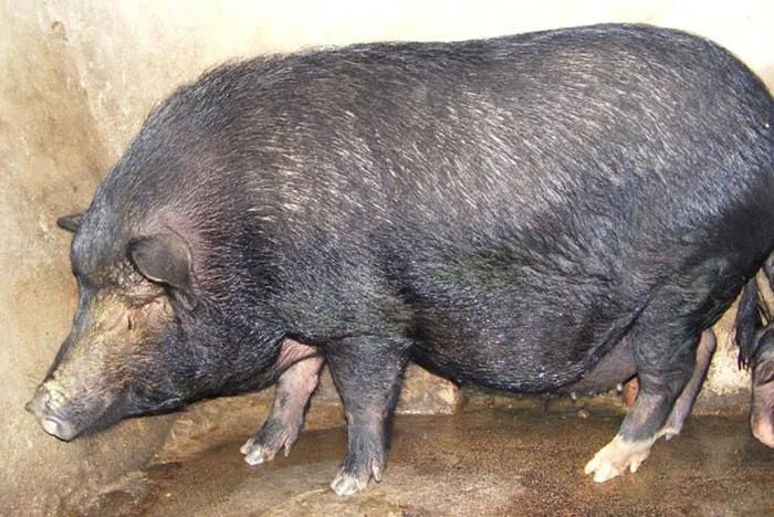 Đặc sản lợn Mường Hòa Bình