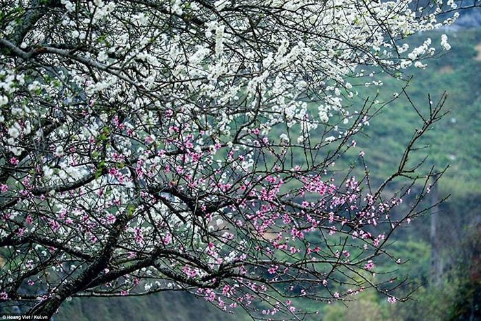 Mùa hoa mận ở Hà Giang dịp đầu năm