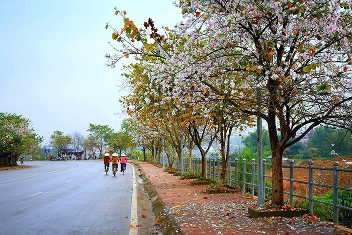 Điện Biên mùa hoa ban rừng