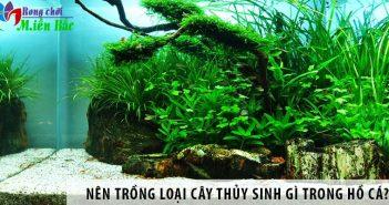 Nên trồng loại cây thủy sinh gì trong hồ cá cảnh?