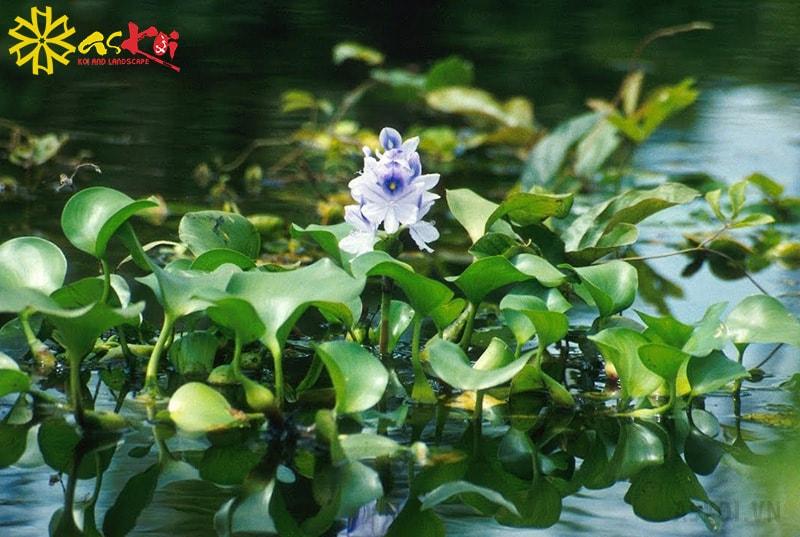 Cây hoa lục bình