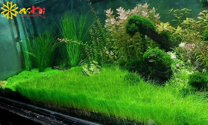 Cây cỏ năng trong bể cá