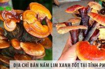 Địa chỉ bán nấm lim xanh chất lượng tốt tại tỉnh Phú Yên
